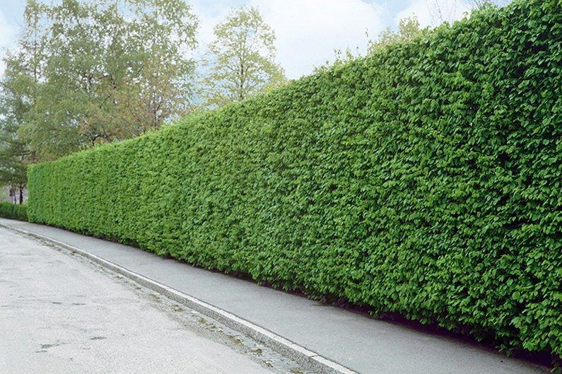 Fagus Carpinus Driveway street privacy noise barrier