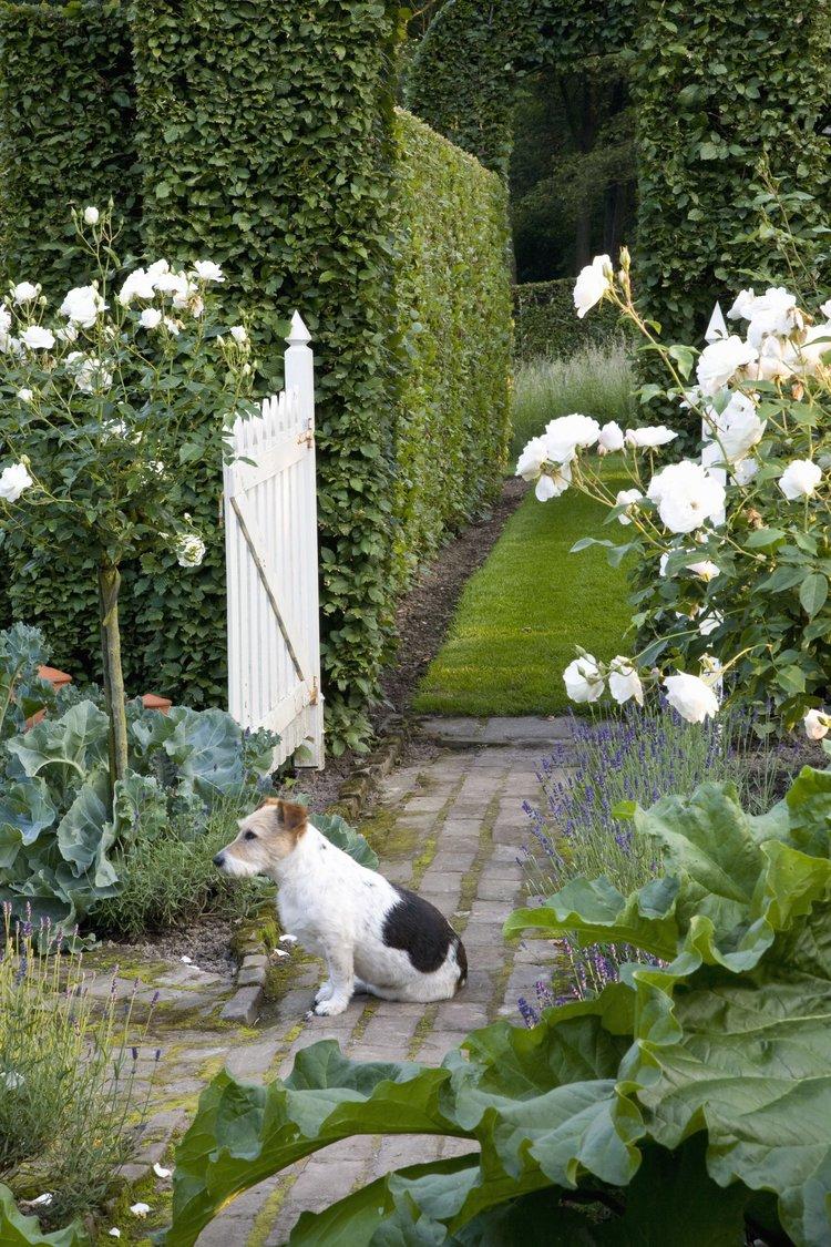 Carpinus hornbeam country garden