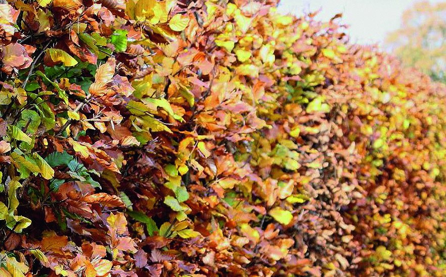 Fagus sylvatica fall