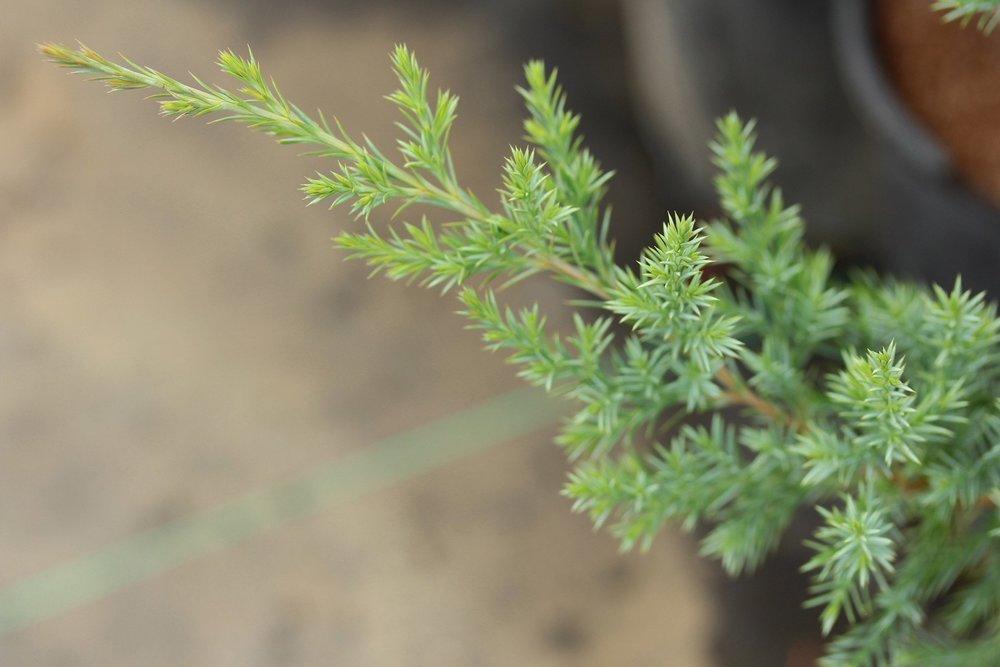 Juniperus virginiana - Eastern red cedar virginia juniper