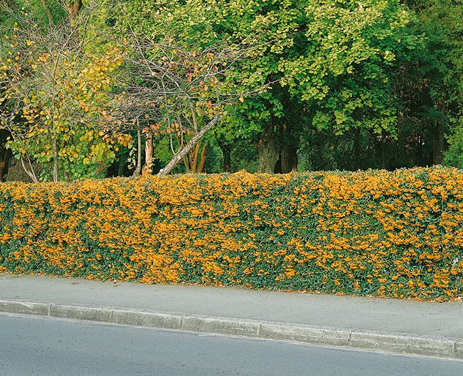 Pyracantha driveway estate street