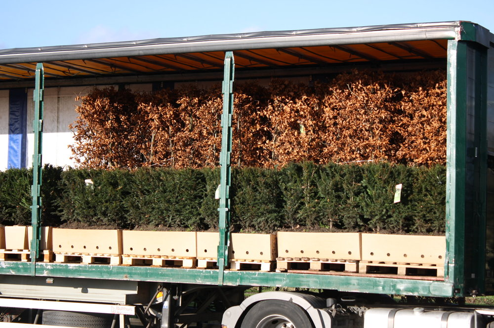 615289 Fagus sylvatica staging harvested (6) hedge units on truck ready to ship.JPG