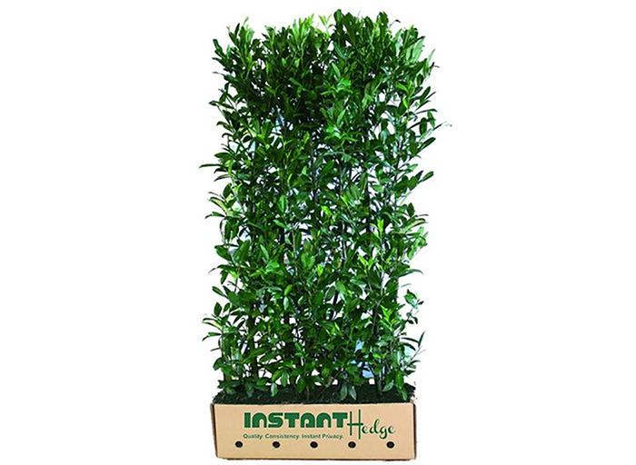 Prunus laurocerasus 'Schipkaensis' skip laurel hedge unit cardboard biodegrade