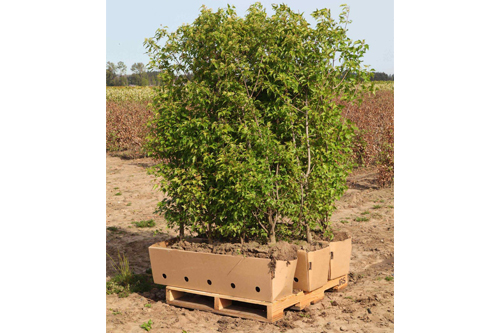Acer ginnala Fame Flame Amur Maple ready to ship on pallet 3-units harvested