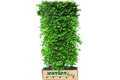 Cornus mas cornelian cherry InstantHedge unit ready to ship biodegradable cardboard