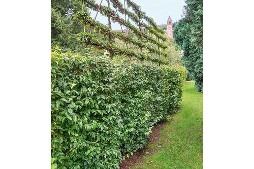Cornus mas country topiary formal pleached lawn estate espalier
