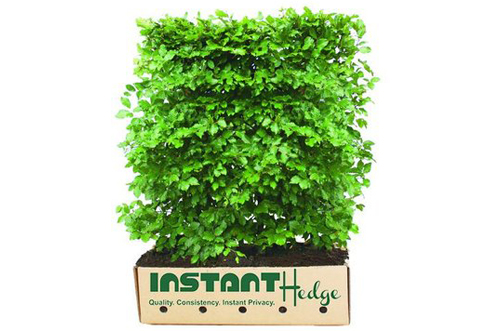 Fagus sylvatica staging harvested - shorter InstantHedge in biodegradable cardboard ready to ship