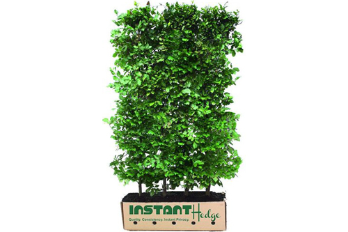 Fagus sylvatica staging harvested - biodegradable cardboard box InstantHedge easy to ship