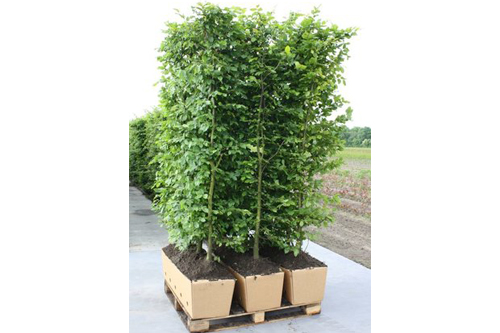 Fagus sylvatica staging harvested - three hedge units pallet biodegradable cardboard ready to ship