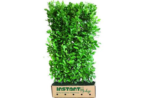 Prunus laurocerasus hedge unit - English laurel InstantHedge biodegradable cardboard