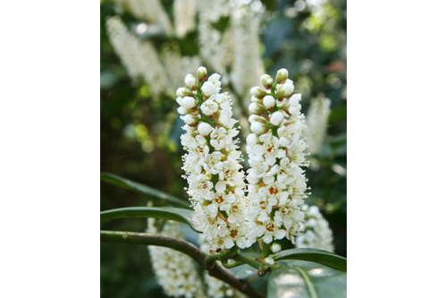 Prunus laurocerasus Schipkaensis flowers fragrant stalk