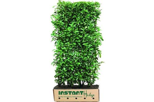 Prunus lusitanica Portuguese laurel InstantHedge unit biodegradable cardboard ready to ship