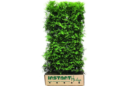 Thuja x 'Green Giant'  hedge unit in biodegradable cardboard