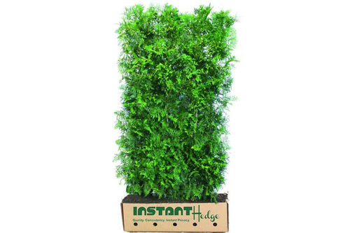 Thuja occidentalis - InstantHedge unit cardboard box easy to plant ready to ship