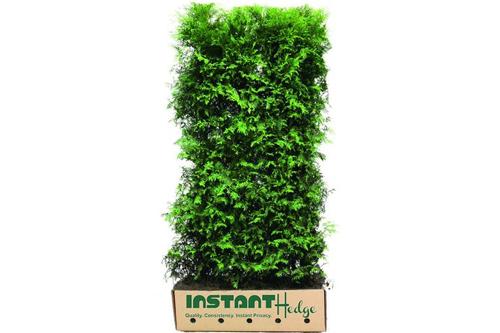 Thuja plicata 'Virescens' Western red cedar InstantHedge unit cardboard for planting