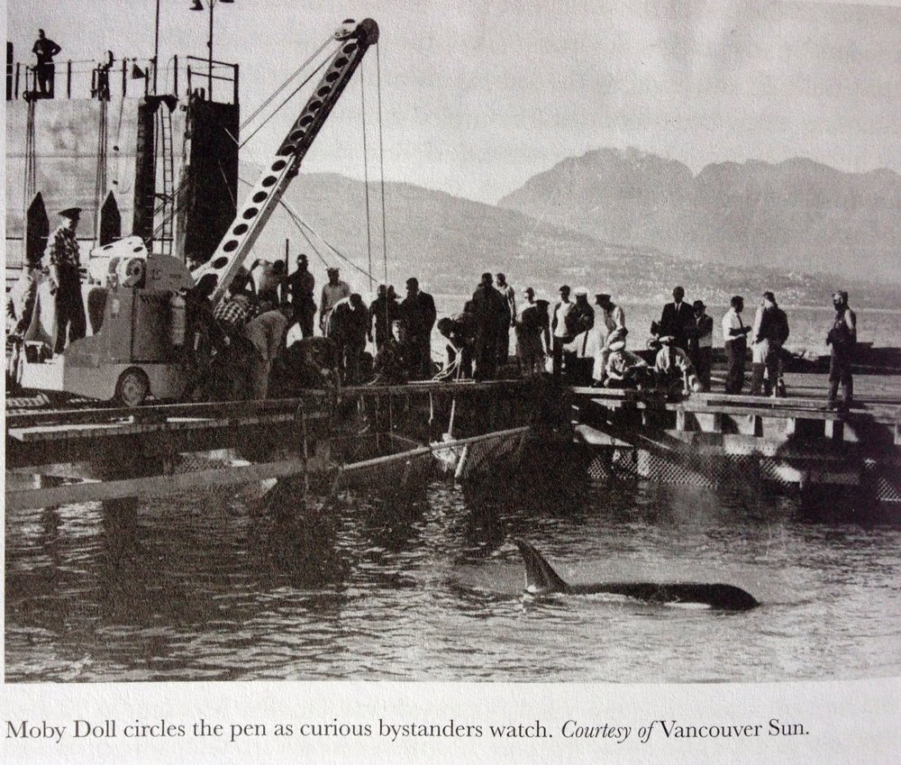 Moby Doll Capture, first Orca ever captured.jpg
