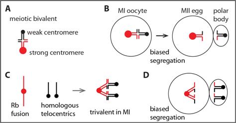 Meiotic Drive | Source ~http://web.sas.upenn.edu/lampson-lab/research/cell-biology-of-meiotic-drive/