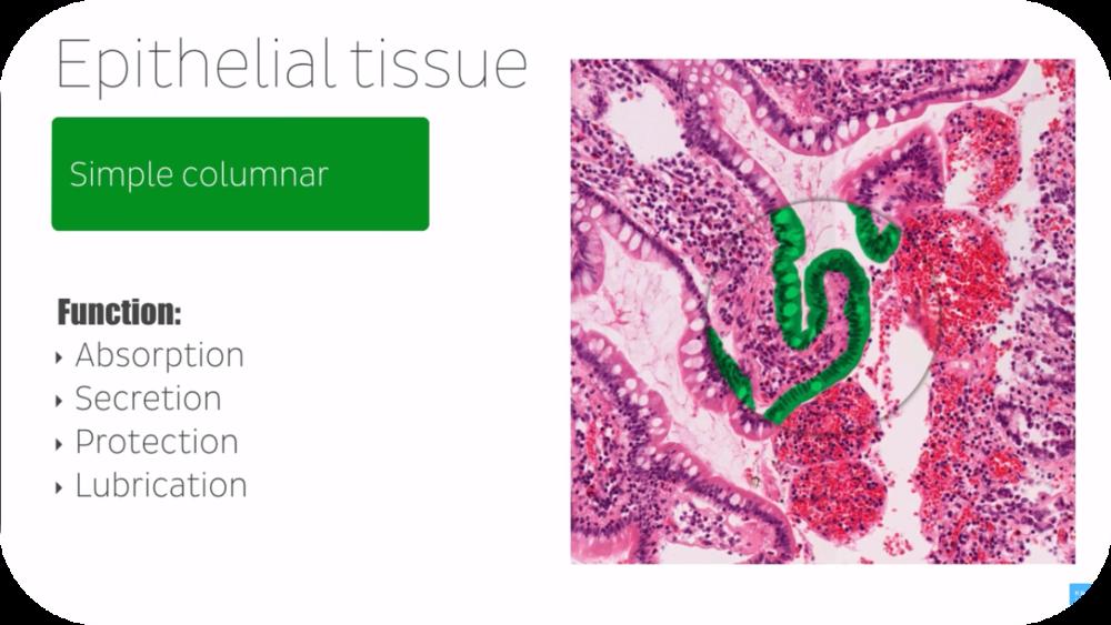 Histology for Beginners   13 Uploads