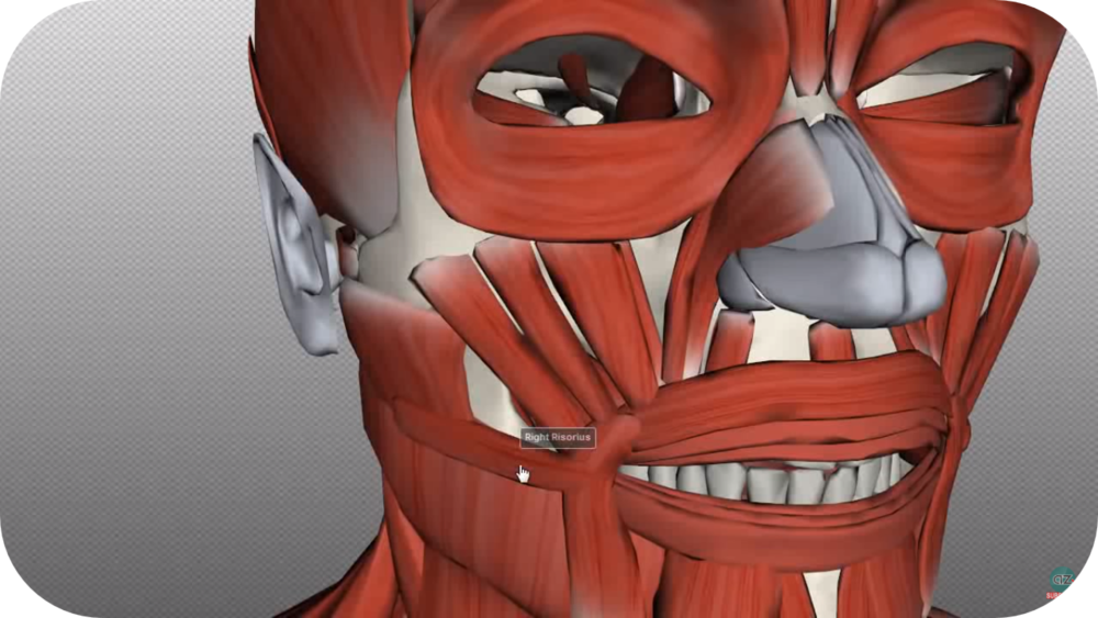 Head and Neck Muscles   9 Uploads