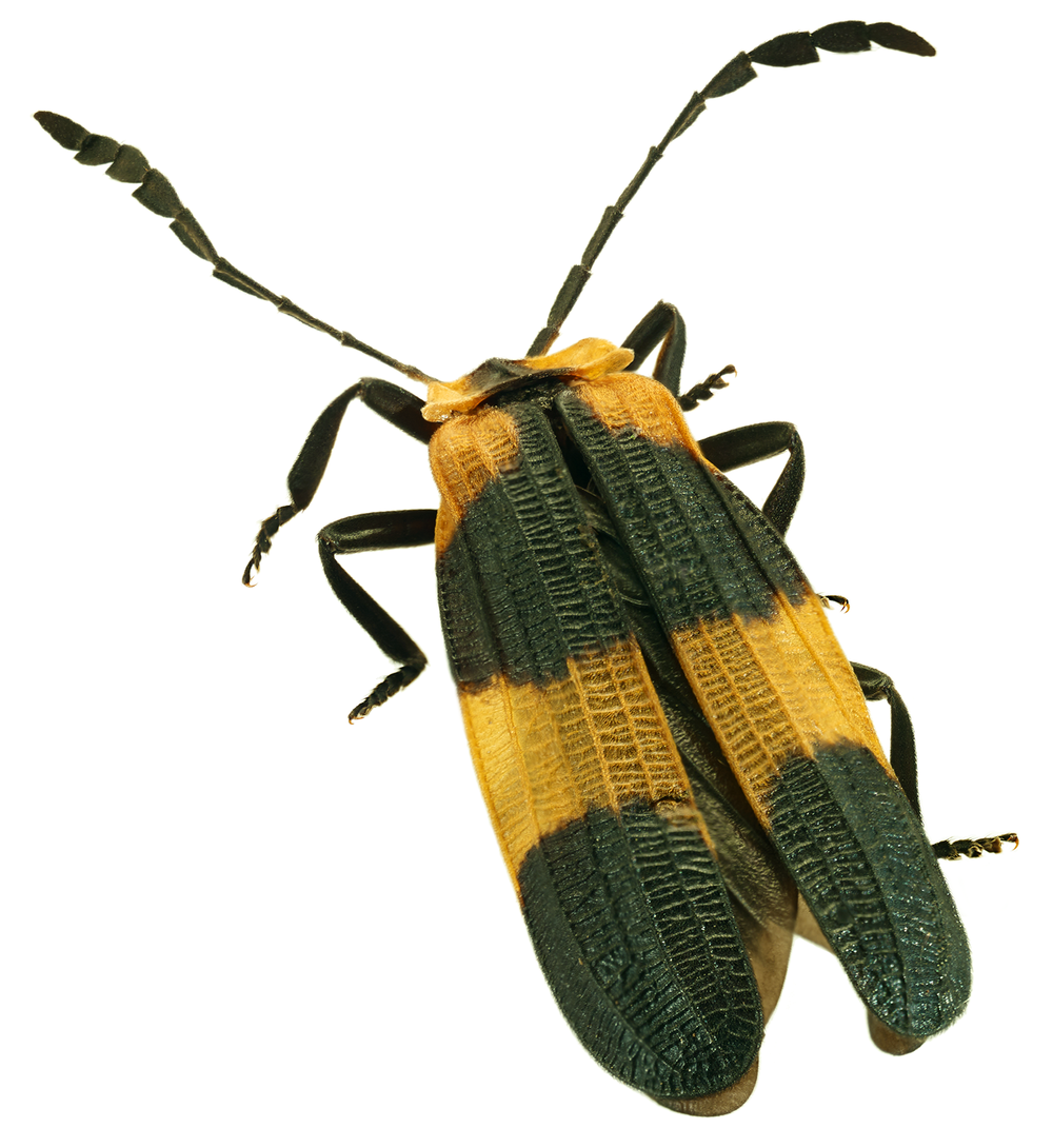 Net-winged Beetle
