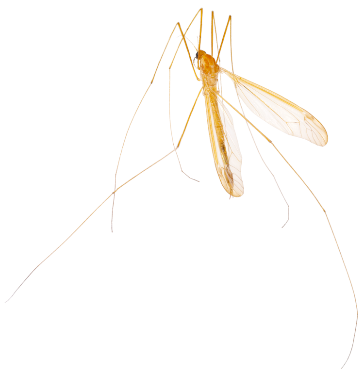 crane fly.png