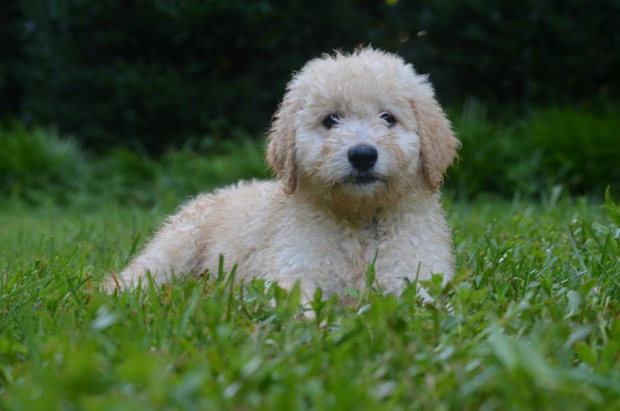 Best Goldendoodles