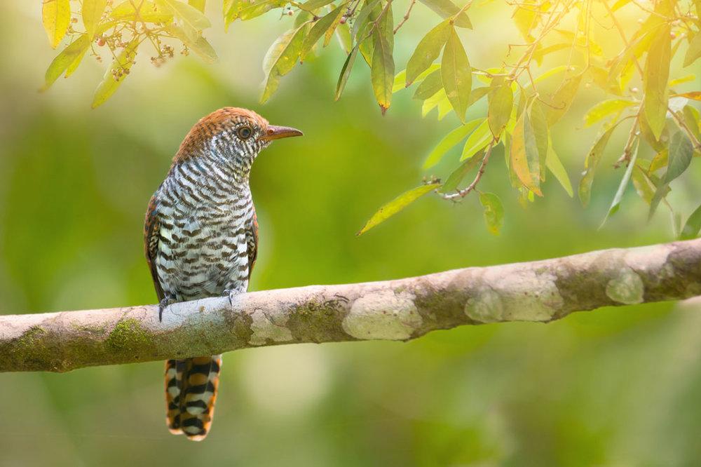 Endangered; the cuckoo can often be heard on Dartmoor