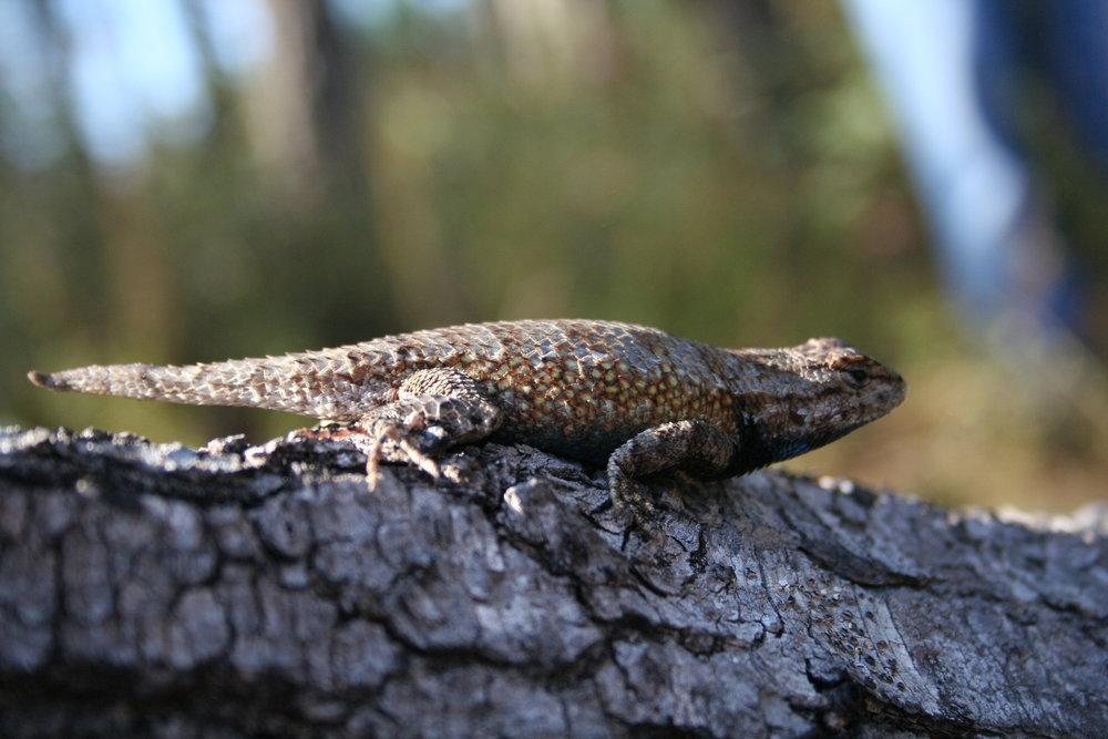 FL fence lizard.JPG