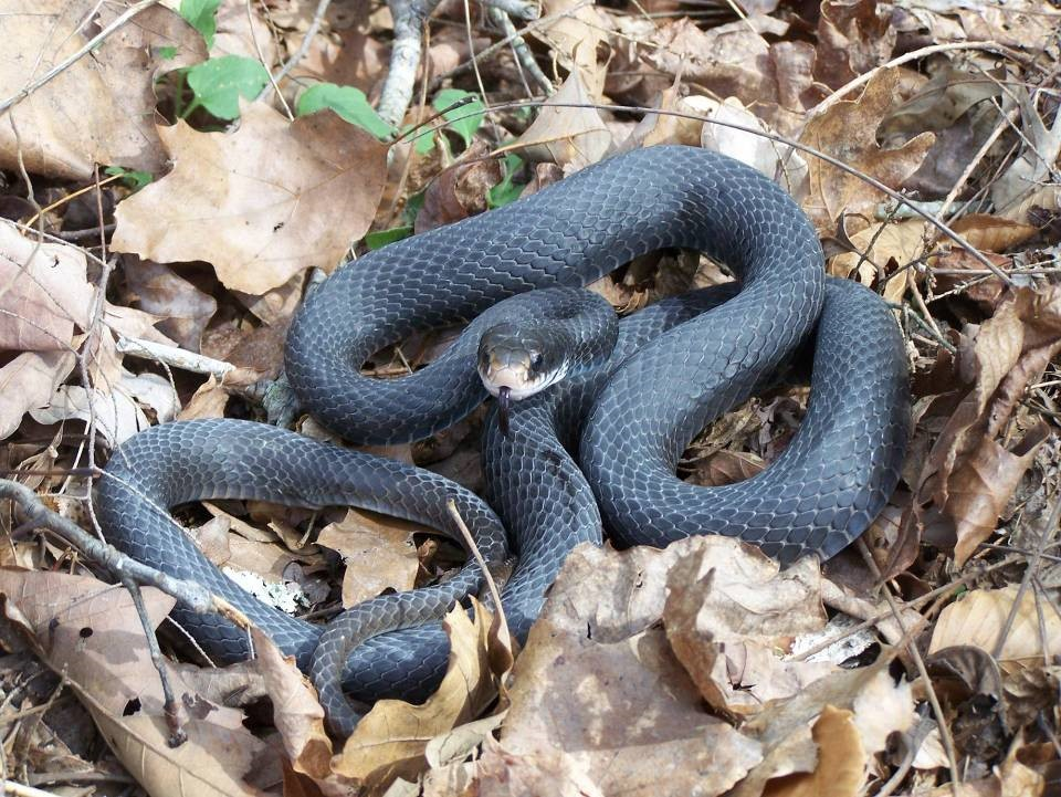 - Northern Black Racer, Coluber constrictor constrictor