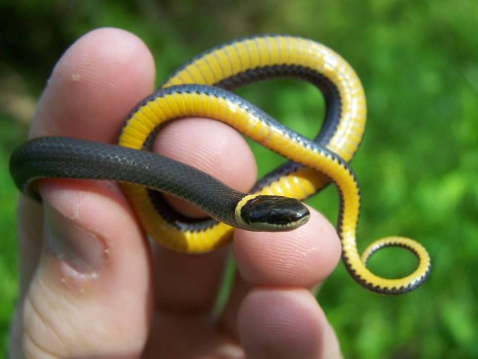 - Northern Ring-Necked Snake, Diadophis punctatus edwardsii