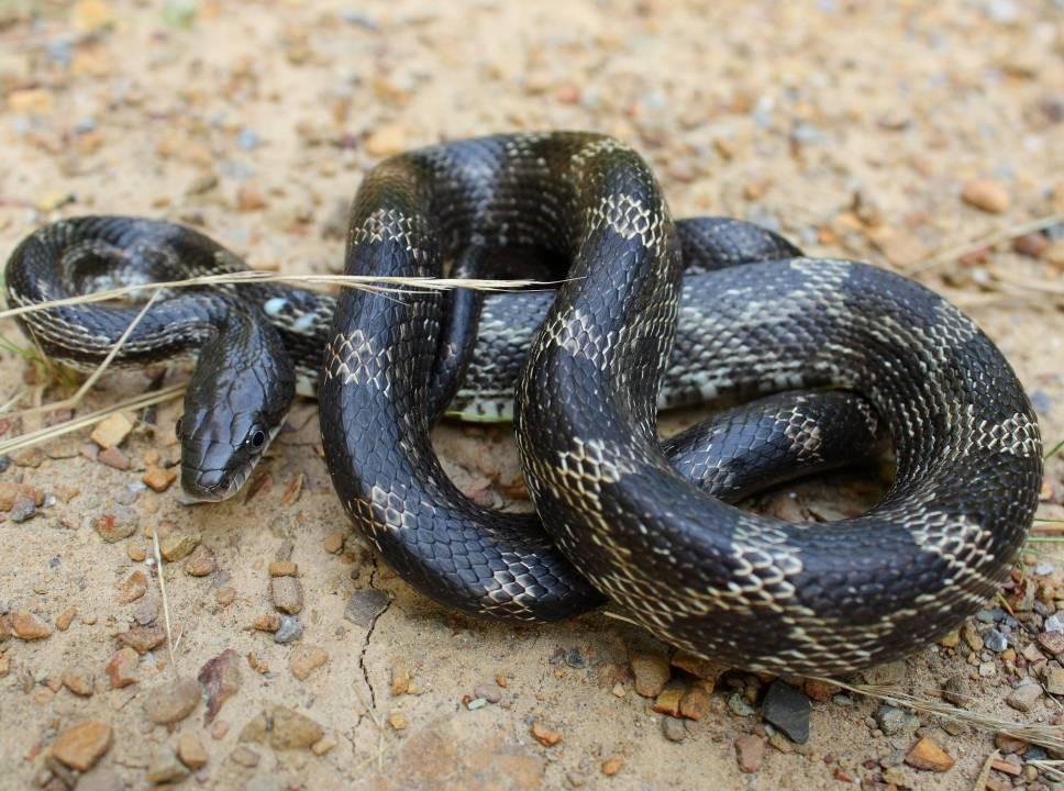 - Pantherophis alleghaniensis (Elaphe o. obsoleta) Eastern (Black) Rat Snake
