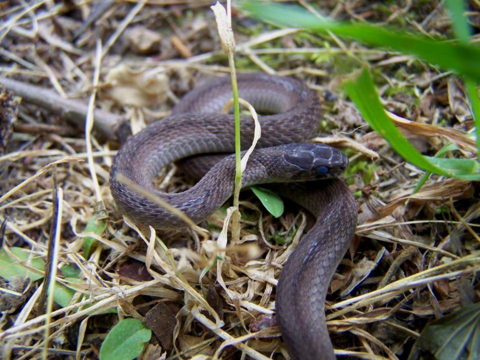 - Storeria dekayi wrightorumMidland Brown Snake