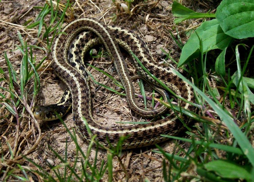 - Thamnophis sirtalis sirtalisEastern Garter Snake