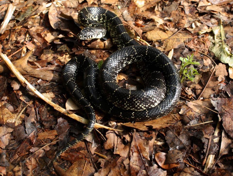 - Lampropetus nigraFormerly: Lampropetus getula nigraEastern Black Kingsnake
