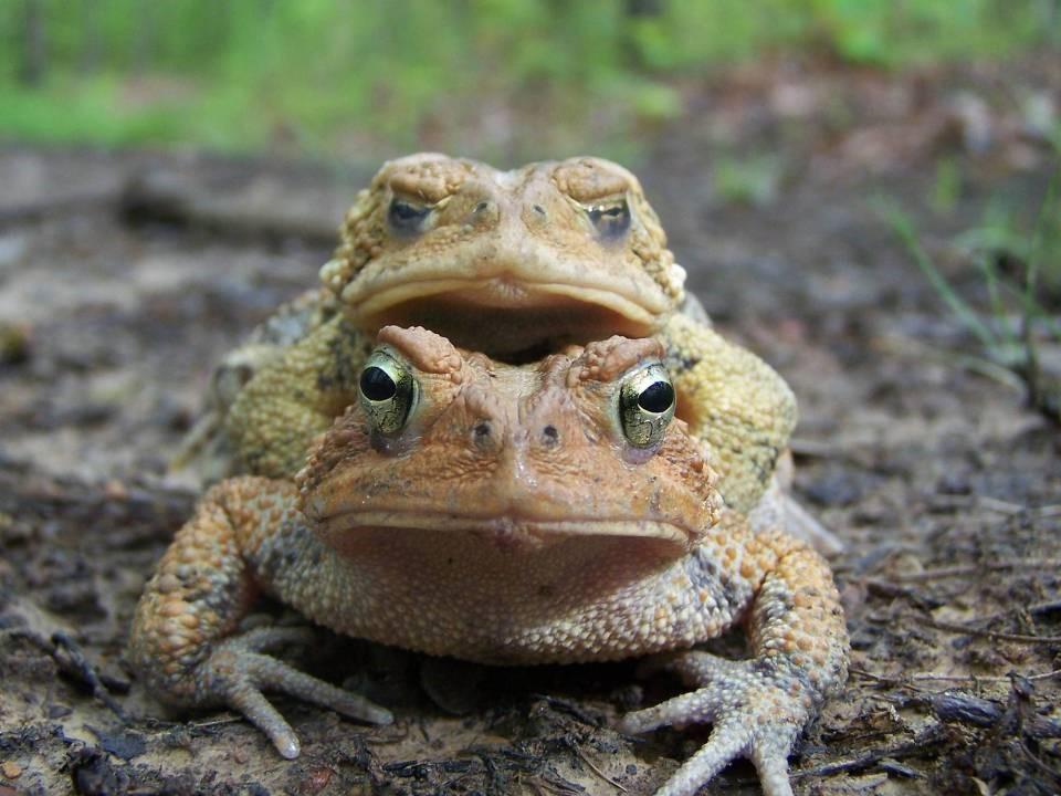 Anaxyrus americanus  Formerly:  Bufo americanus   American Toad