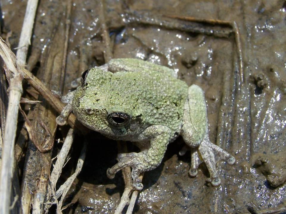 Hyla chrysoscelis   Cope's Gray Treefrog