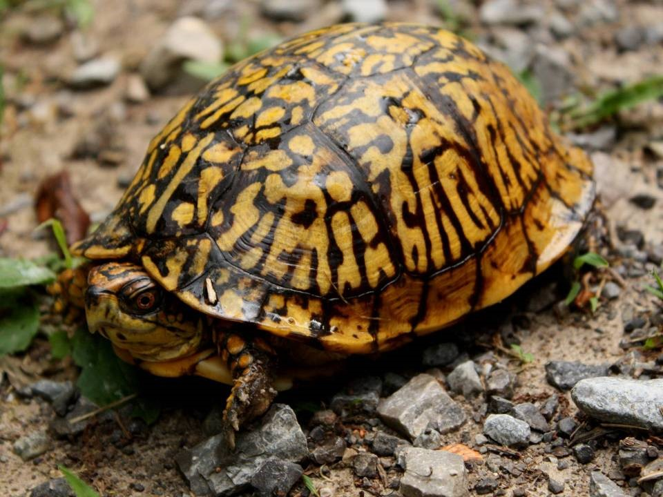 Terrapene carolina carolina   Eastern Box Turtle