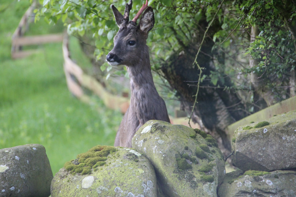 Deer in front garden May 2014