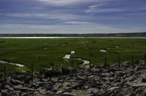 salt marsh lamb by River Cree in Galloway.jpg