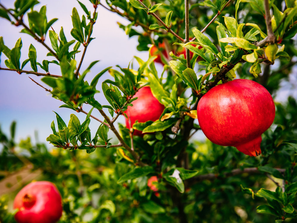 Organic Pomegranate Vinegar with the 'Mother' - Rich in antioxidants, this vinegar is finished with a dash of pomegranate juice to enhance that delicious fruity flavour and distinctive taste. Use as a salad dressing, marinade or glaze or with honey and ice as a summer drink.