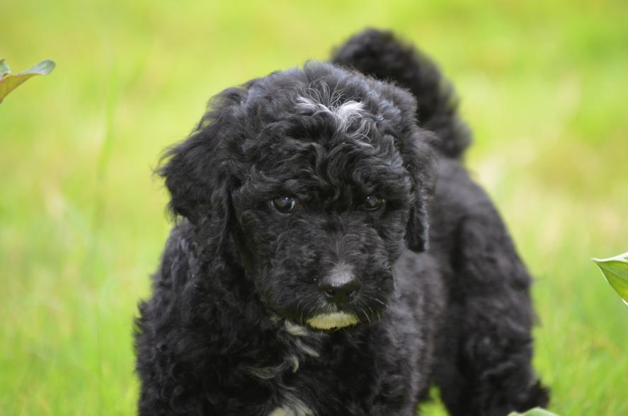 F1b-red-cream-black-Labradoodle-puppies-17.jpeg