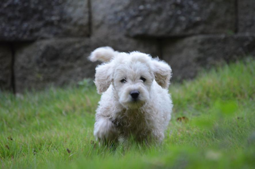 mini-Labradoodles-5.jpeg