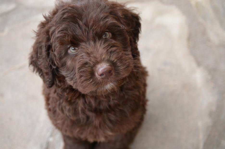 Hilton-Head-chocolate-Labradoodle-Kona-7.jpeg