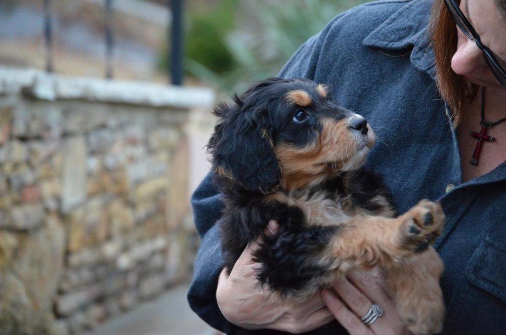 Best-Aussiedoodle-breeders-Savannah-3.jpeg