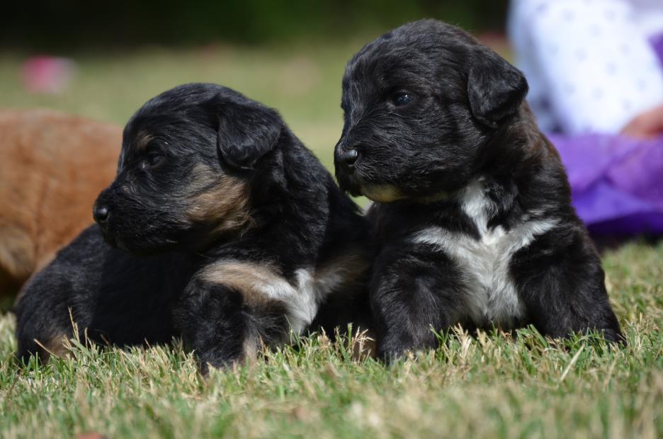 best-Aussiedoodle-puppy-pictures-10.jpeg