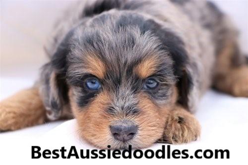 Best Aussiedoodles
