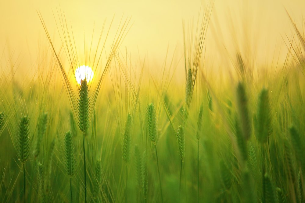 beautiful agriculture and barley field