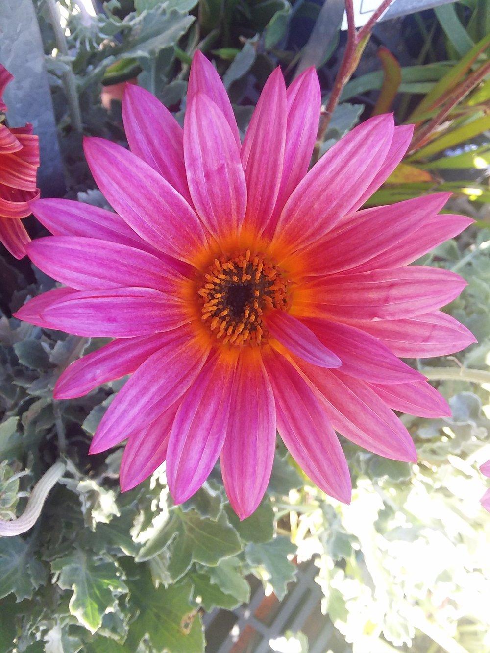 Arctotis 'Pink Sugar' Pink African Daisy
