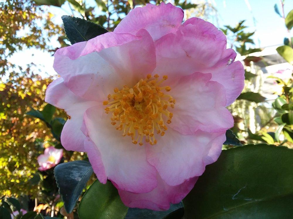 Camellia Sasanqua 'Apple Blossom'
