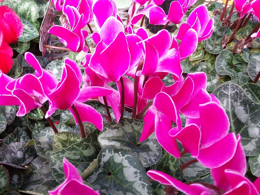 Cyclamen Flame Purple